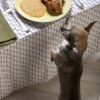 Chihuahua licking lips and looking at food on plate at dinner table - Stock Photo