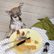 Chihuahua looking at leftover food on plate at dinner table — Stockfoto