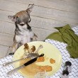 Chihuahua looking at leftover food on plate at dinner table — Stock fotografie