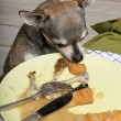 Chihuahua looking at leftover food on plate at dinner table — Stock Photo