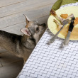 Chihuahua looking up at leftover meal on dinner table — 图库照片