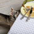 Chihuahua looking up at leftover meal on dinner table — Stockfoto