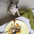 Chihuahua standing on hind legs to look at leftover meal on dinner table — Stok fotoğraf
