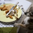 Chihuahua standing on hind legs to look at leftover meal on dinner table — 图库照片