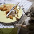 Chihuahua standing on hind legs to look at leftover meal on dinner table — Foto de Stock