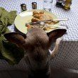 Chihuahua standing on hind legs to look at leftover meal on dinner table - Stock Photo