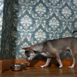 Chihuahua sniffing dog bowl in front of floral wallpaper - Stock Photo