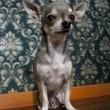 Chihuahua sitting in front of floral wallpaper - Stock Photo