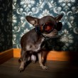 Royalty-Free Stock Photo: Chihuahua wearing sunglasses in front of floral wallpaper