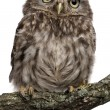 Young owl perching on branch in front of white background — Stock Photo #10893078