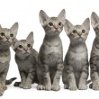 Ocicat kittens, 13 weeks old, sitting in front of white background - Stock Photo