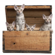Ocicat kittens, 13 weeks old, emerging from a wooden box in front of white background - Stock Photo