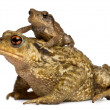 Mother Common toad and her baby, bufo bufo, in front of white background — Stock Photo #10893599
