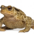 Common toad, bufo bufo, in front of white background — Stock Photo #10893605