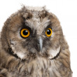 Eurasian Scops-owl, Otus scops, 2 months old, in front of white background — Stock Photo