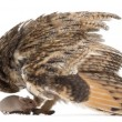 Stock Photo: Eurasian Scops-owl looking at a mouse, Otus scops, 2 months old, in front of white background