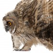 Stock Photo: Eurasian Scops-owl, Otus scops, 2 months old, in front of white background