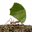 Leaf-cutter ant, Acromyrmex octospinosus, carrying leaf in front — Stock Photo #10894125