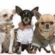 Three Chihuahuas, 2 years old, dressed up and 1 year old, dresse — Stock Photo #10894129
