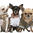 Stock Photo: Three Chihuahuas, 2 years old, dressed up and 1 year old, dresse