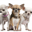Chihuahuas, 2 years old, standing in front of white background — Stock Photo