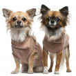 Chihuahuas, 2 years old, dressed up and standing in front of white background — Stock fotografie
