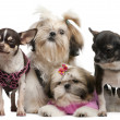 Shih Tzu's, 7 months old, 3 months old, and Chihuahuas, 4 years old, 1 year old, dressed up and sitting in front of white background — Stock Photo