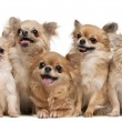 Chihuahuas, 14 years old, 11 years old, 5 years old, 3 years old - Stock Photo