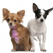Chihuahuas, one with pink bow-tie fur, 18 months old, and 4 years old, in front of white background — Stock Photo