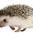 Four-toed Hedgehog, Atelerix albiventris, 2 years old, balled up in front of white background — Stock Photo