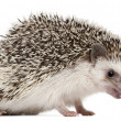 Four-toed Hedgehog, Atelerix albiventris, 2 years old, balled up in front of white background — Stock Photo #10894563
