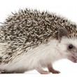 Stock Photo: Four-toed Hedgehog, Atelerix albiventris, 2 years old, balled up in front of white background