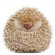 Four-toed Hedgehog, Atelerix albiventris, 2 years old, balled up in front of white background - Stock Photo
