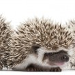 Stock Photo: Four-toed Hedgehogs, Atelerix albiventris, 3 weeks old, in front of white background