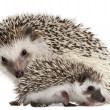 Four-toed Hedgehogs, Atelerix albiventris, 3 weeks old, in front of white background — Foto de Stock