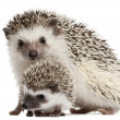Four-toed Hedgehogs, Atelerix albiventris, 3 weeks old, in front of white background — Stock Photo