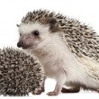 Four-toed Hedgehogs, Atelerix albiventris, 3 weeks old, in front of white background — Stock Photo #10894607