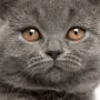 Close-up of British Shorthair kitten, 10 weeks old — Stock Photo
