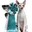 Cornish Rex cat, 7 months old, sitting next to prize in front of white background — Stock Photo #10895223