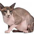 Sphynx cat, 18 months old, sitting in front of white background — Stock Photo #10895225