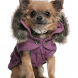 Chihuahua puppy dressed in purple hooded coat, 6 months old, sitting in front of white background — Stock Photo