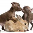 Chihuahua puppies, 10 weeks old, and rabbit in front of white background — Foto Stock