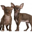 Chihuahua puppies, 10 weeks old, standing in front of white background — Stok fotoğraf
