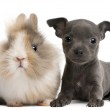 Chihuahua puppy, 6 weeks old, and rabbit in front of white background — Stock Photo #10895552