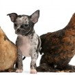 Chihuahua puppy interacting with a hens in front of white background — Stock Photo #10895605