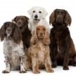 Group of dogs, Labrador Retriever, American Cocker Spaniel, English Cocker Spaniel and Kuvask, in front of white background - Foto Stock