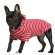 French Bulldog in red and white striped shirt, 2 years old, standing in front of white background — Stock Photo