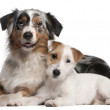 Постер, плакат: Australian Shepherd dog 1 year old Parson Russell Terrier puppy 6 months old lying in front of white background