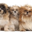 Three Shih-tzus with windblown hair in front of white background — Stock Photo #10896028