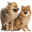 Stock Photo: Two Spitz dogs, 1 year old, in front of white background